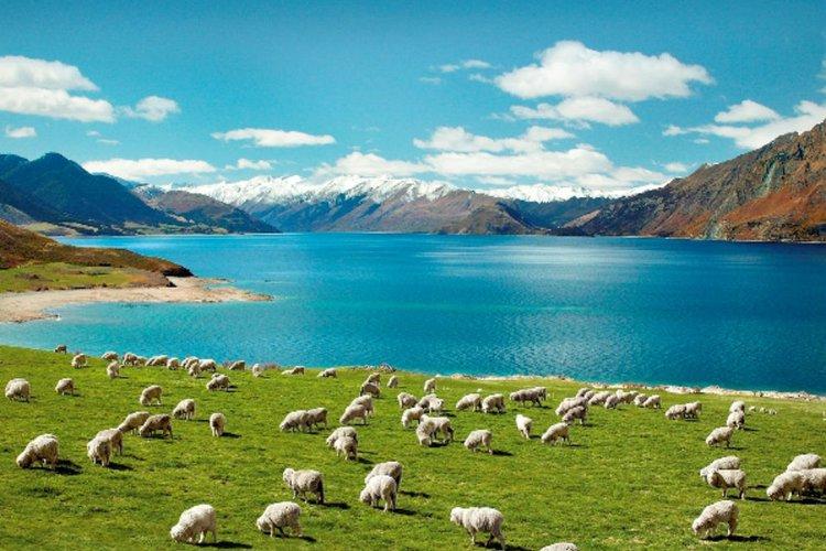 نیوزلند، سرزمین صنعت دامپروری جهان