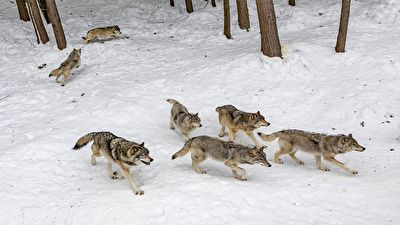 در۶ ماه نخست سال؛ گرگها ۲۹۵ راس دام اهلی را در زنجان دریدند