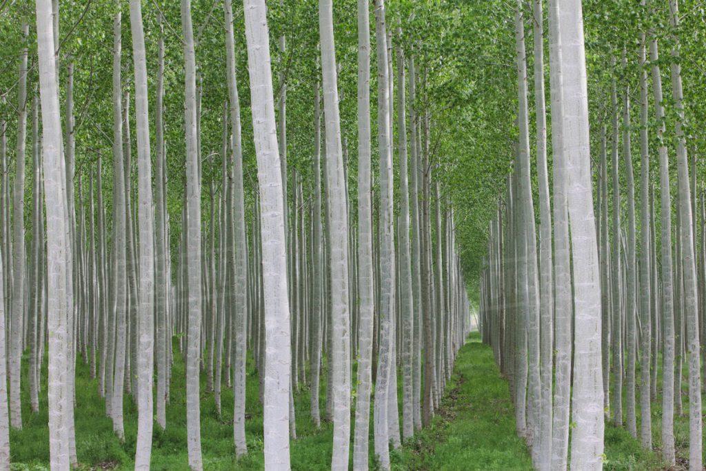 رئیس اداره جنگلکاری استان تاکید کرد: رونق صنعت چوب با زراعت صنوبر/زنجان یکی از قطب های تولید صنوبر کشور است